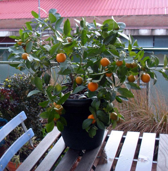 naranjos de levante, naranjos de poniente. | la rama de oro