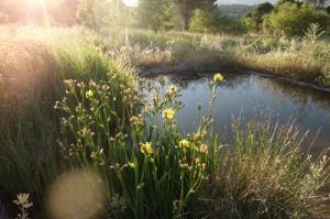 Iris bastardos+sol poniente junio