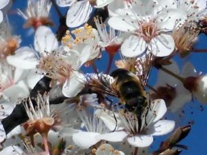 abejorro en un Prunus 18-3-13