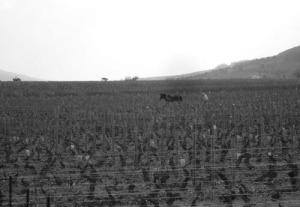caballo en Montrachet