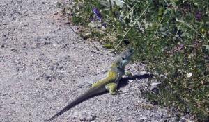 lagarto ocelado junio-13