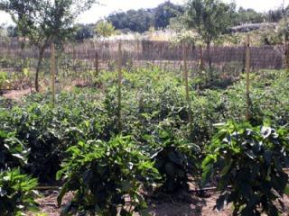 tomates y pim  julio