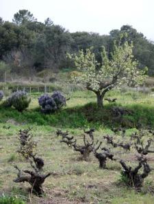 romeros, viñas podadas