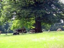 vacas Rousham